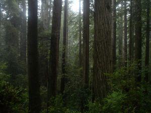 Prairie_Creek_Redwoods_-_Coastal_Redwood_Forest