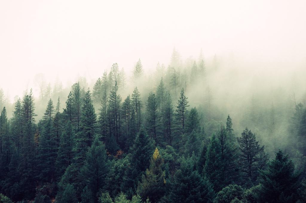 Arial view of the tall evergreen trees shrouded in misty fog.